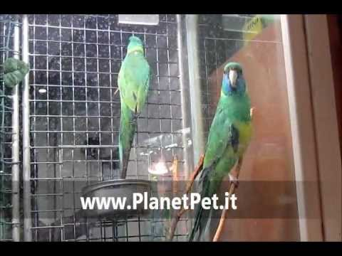 Parrocchetto Cloncurry – www.PlanetPet.it