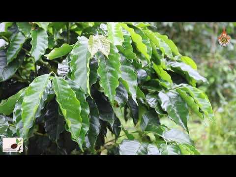 ตอนที่ 1 สายพันธุ์กาแฟอาราบิก้าที่เหมาะสมในการปลูกพื้นที่ภาคเหนือ