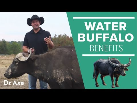 Water Buffalo: The Amazing Animal and Its Milk Cheese Benefits