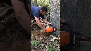 Meşe ağacı devirme tekniği