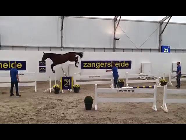 Stallion GP Prospect thunder ZT Zuuthoeve X Nonstop(Darco)