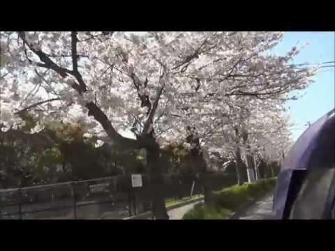 Sakura Trees in Japan: Sakura Trees lining main road in Kurihama Japan