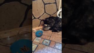 Кошка Чита пьёт воду лапой!