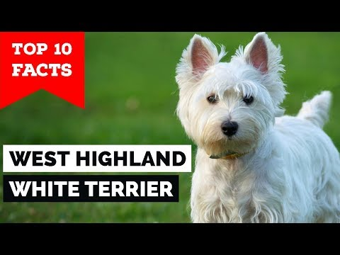 West Highland White Terrier  Top 10 Facts (Westie)