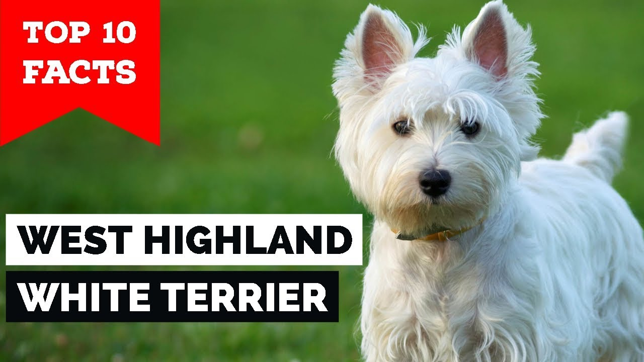 West Highland White Terrier – Top 10 Facts (Westie) - YouTube