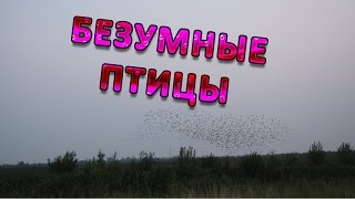 Безумные птицы !!!