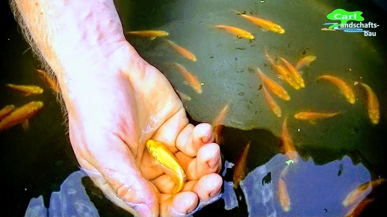 Baby Koi Hatching In Natural Pond Yamabuki Ogon Fry