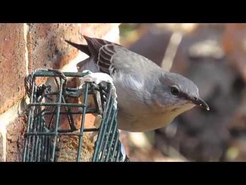 mockingbird at suet feeder - YouTube