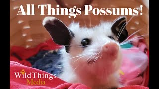 All Things Possums! Stuart the Possum Ambassador.