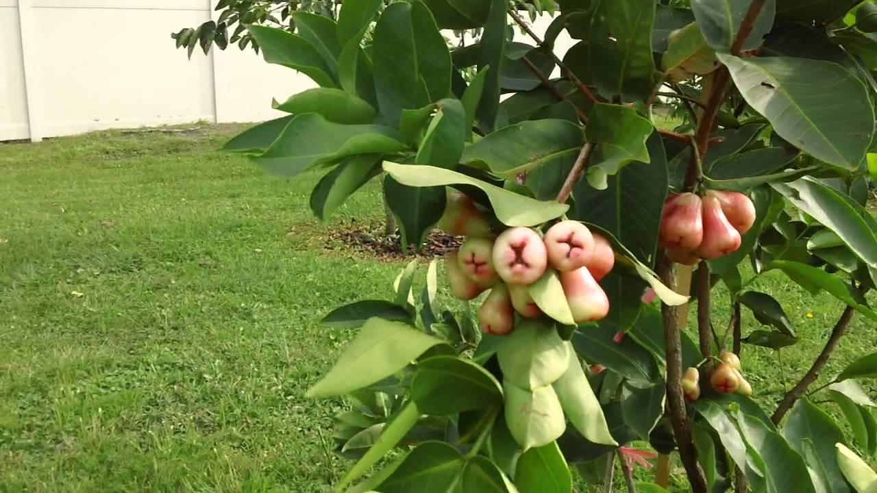 My Wax Jambu Tree - Florida