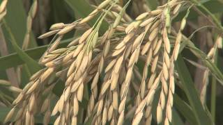 Weather affects rice planting in Louisiana