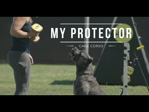 CANE CORSO: BEST DOG PROTECTOR (Meryl and Marco)