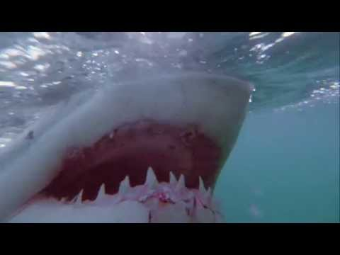 Great White Shark Attacks Freediver in South Africa