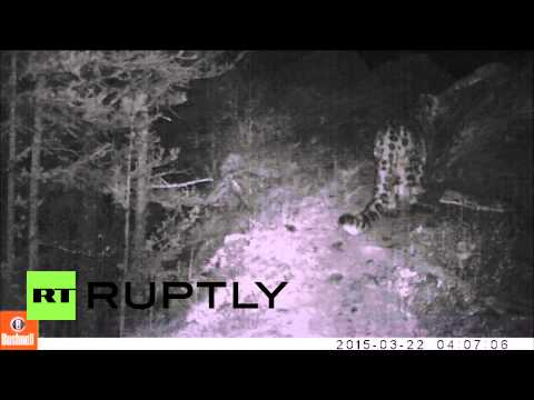 Russia: Endangered snow leopard filmed in Siberian national park