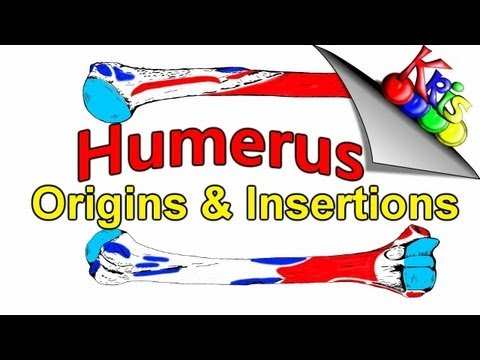 Humerus Bone → Origins and Insertion attachments on the Humerus|| By: Kinesiology Kris