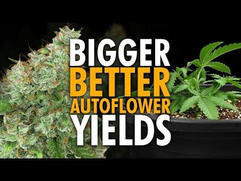 Beginner Autoflower Grow Tips for Bigger Yields