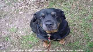 How To Potty Train A Rottweiler Pet