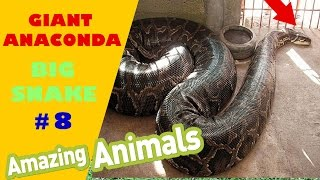 Big Snake   Anaconda Snake   World Biggest Snake Compilation 8