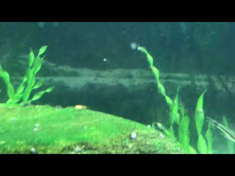 Baby Fish Fry Everywhere! Red Wag Swordtails.