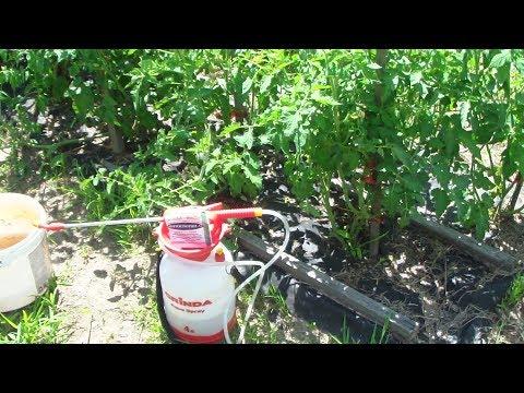 Обработка томатов фитоспорином.