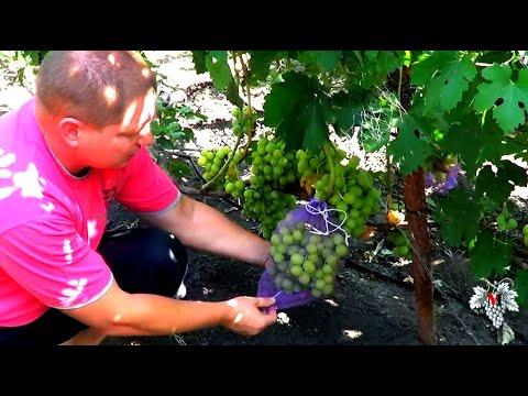 Защита винограда от ос и птиц в период созревания винограда