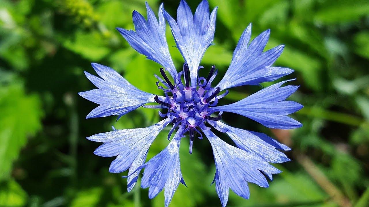 Cornflower Blue Centaurea Cyanus Images With Cornflowers