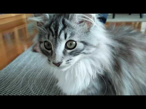 My new Norwegian Forest Cat