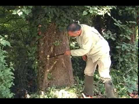 Removing English Ivy Without Harming