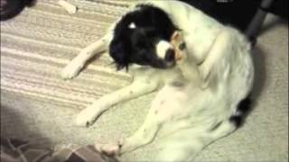 Brittany Spaniel Chewing Nails