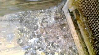 Мышь побывала в улье The mouse had been in a hive(, 2013-04-03T19:56:41.000Z)