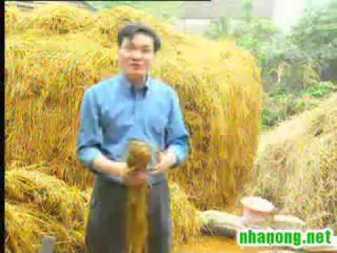 Hướng dẫn kỹ thuật trồng nấm rơm ngoài trời - 01