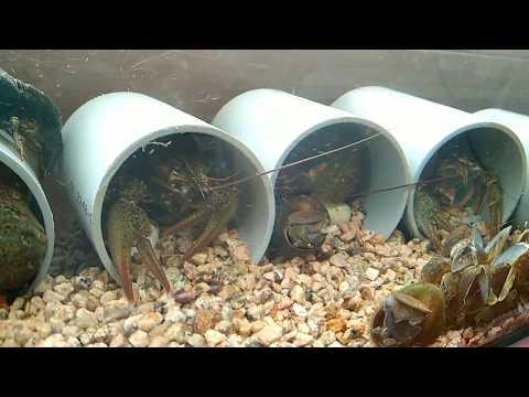 Раки в аквариуме. Прозрачная вода третья неделя пошла River crayfish in an aquarium #раки