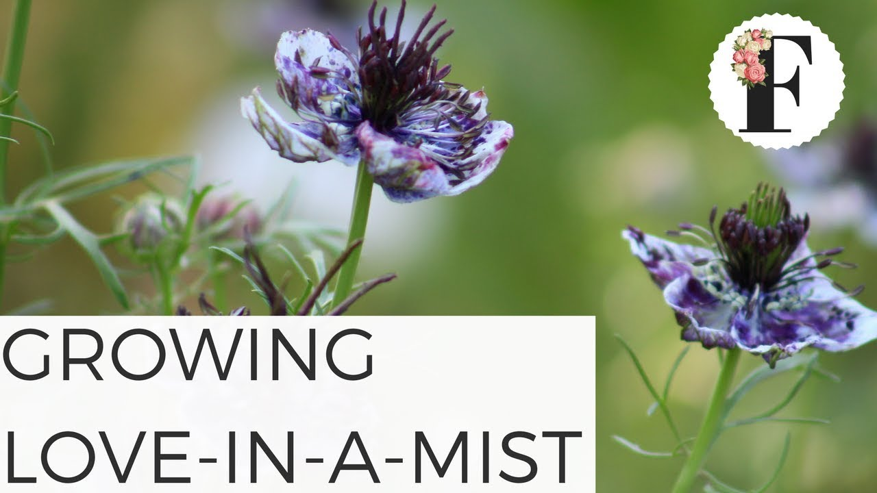 How To Grow Love In A Mist Nigella Growing Flowers From Seed Gardening For Beginners Cut Flower Farm