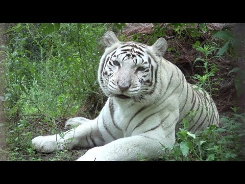 Zabu | Big Cat Rescue