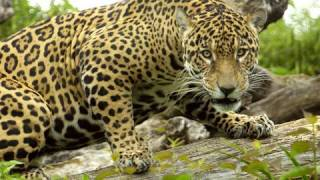 Jaguar under water swim in HD