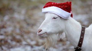 Быстрый обзор хозяйства с Новым ГОДОМ козы овцы гуси куры собаки и свиньи