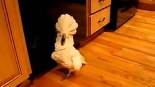 Очень смешной попугай! Прикол всех времен!!! Смеялся до слез с друзьями!!!