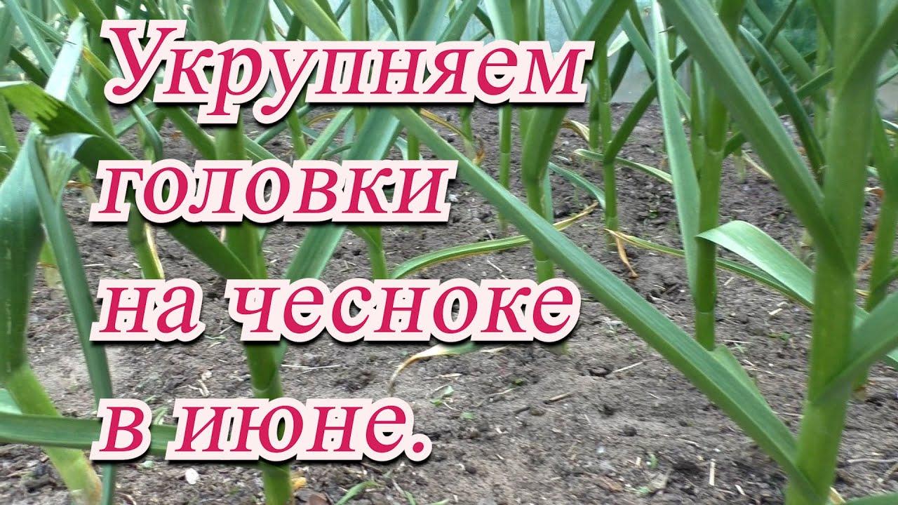 Полейте так чеснок в июне и урожай вас ОЧЕНЬ порадует!