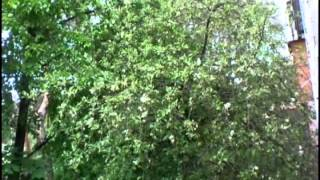Снова цветут каштаны(Каштаны у нас за балконом снова расцвели. Такова же и песня., 2015-05-09T19:33:44.000Z)