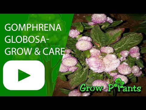 Gomphrena Globosa - Grow & Care - Globe Amaranth