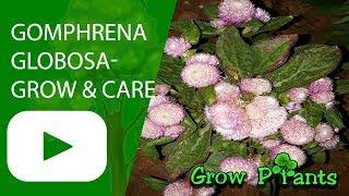 Gomphrena globosa - grow u0026 care - Globe Amaranth
