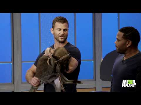 Watch Dave Salmoni Introduce Anthony To A Wallaby!