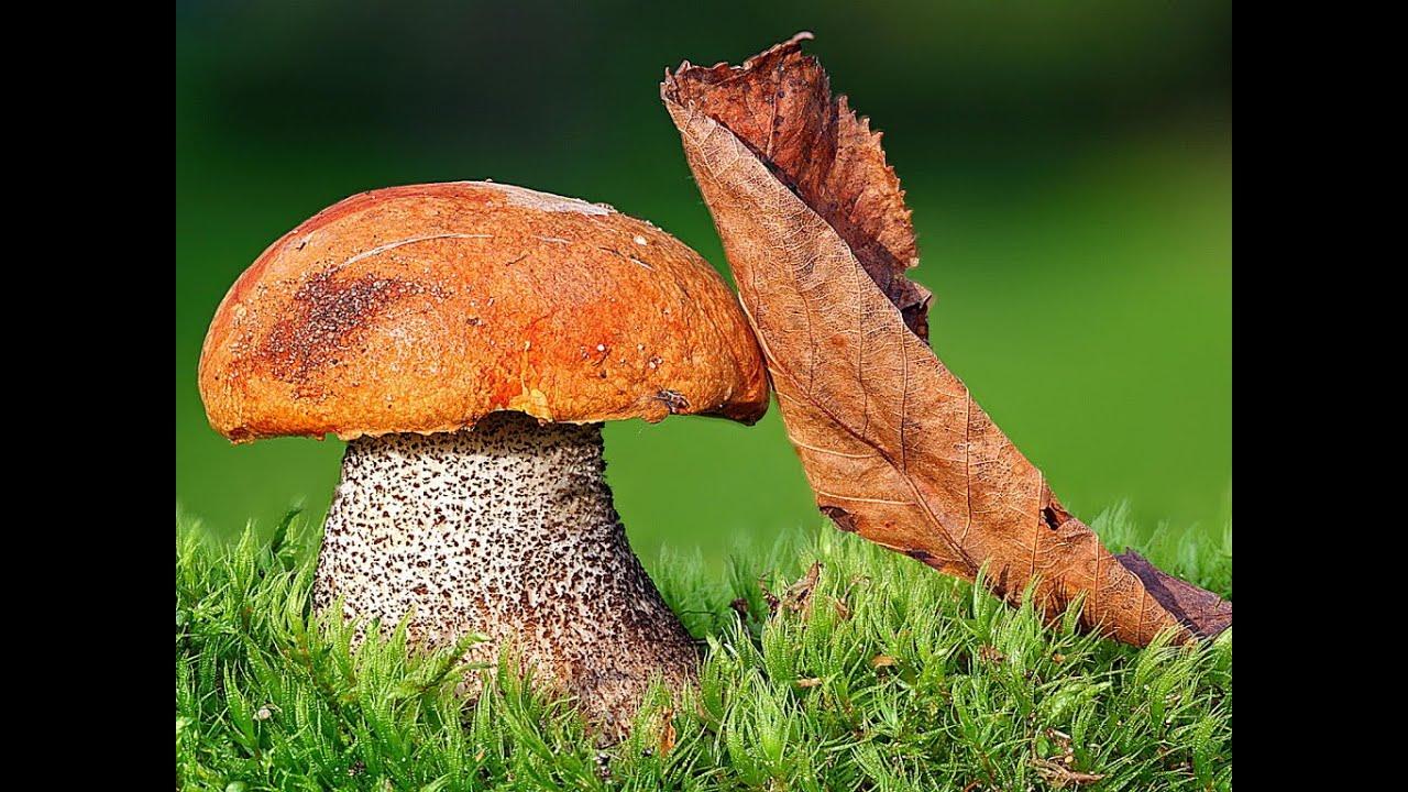 фото подосиновик гриба