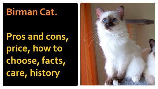 Birman Cat.   Pros and cons, price, how to choose, facts, care, history2