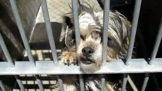 Adopted - Penny The Silky Terrier Seeking A Home In Northern Ca