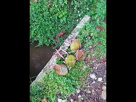 panen durian hanyut di sungai Mp3