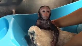 Cute Monkeys Part #24 - Relaxing moment with Funny Baby Capuchin Monkey 2018