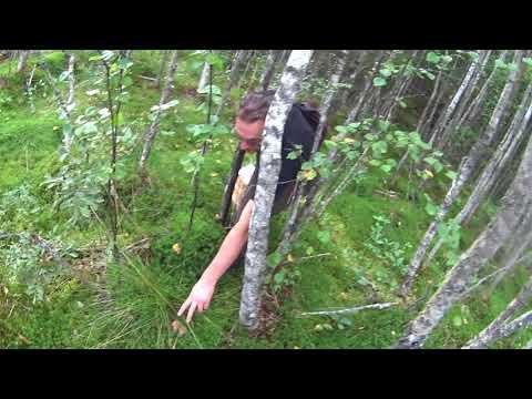 За грибами в Тосненские леса и болота Ленинградской области