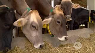 Para lecheras férulas vacas