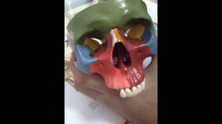 cranium 1